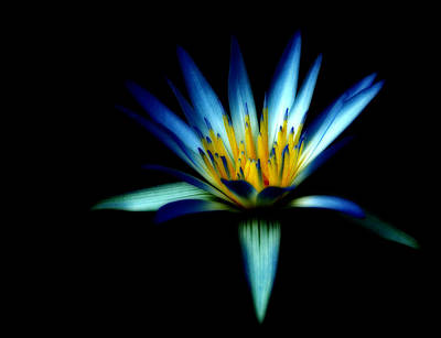 Photograph - The Blue Lotus Of Egypt by Wayne Sherriff