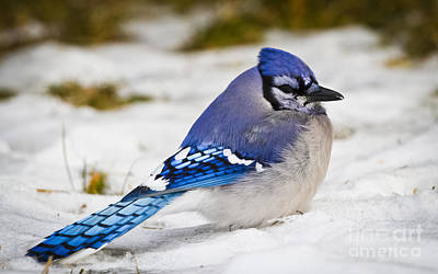 Photograph - The Bluejay by Ricky L Jones