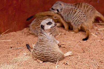 Meerkat Photograph - The Bored Babysitter by Michelle Wrighton