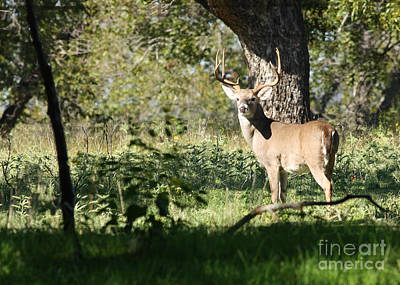 Missouri Whitetail Photograph - The Boss by David Cutts
