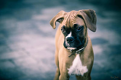 Boxer Dog Photograph - The Boxer by Karen Varnas