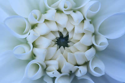 The Blue Dahlia Photograph - The Bride by Connie Handscomb