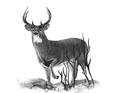 Whitetail Deer Drawing - The Buck by Bobby Shaw