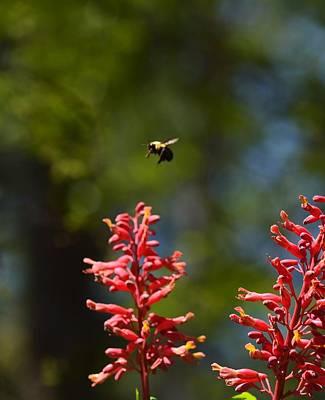 Photograph - The Buckeye Bumblebee by Maria Urso
