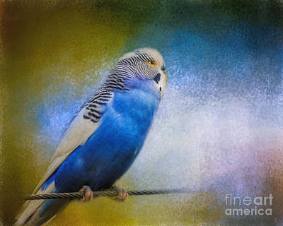Parakeet Photograph - The Budgie Collection - Budgie 2 by Jai Johnson