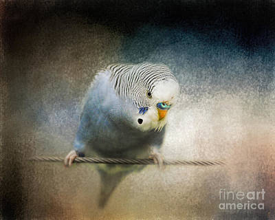 Parakeet Photograph - The Budgie Collection - Budgie 3 by Jai Johnson