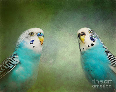 Parakeet Photograph - The Budgie Collection - Budgie Pair by Jai Johnson