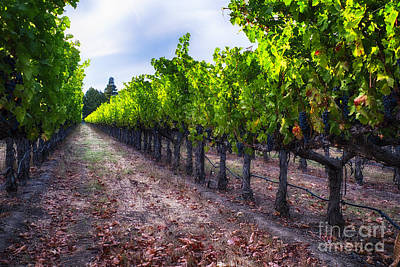 Grape Leaves Photograph - The Cabernet Is Ready by George Oze