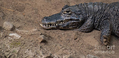 Photograph - The Caiman by Bianca Nadeau