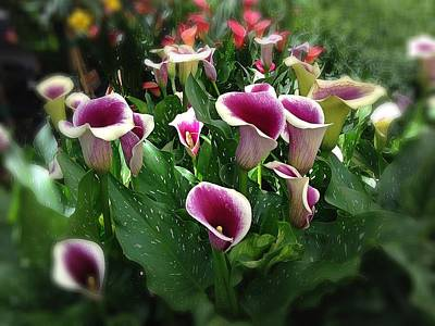 The Calla Lilies Are In Bloom Again Art Print