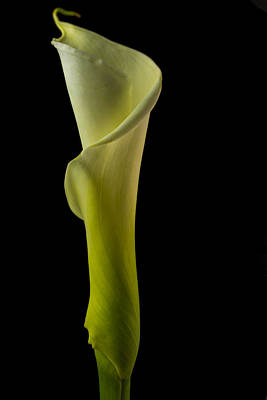 The Calla Lily Flower Color Print by David Haskett