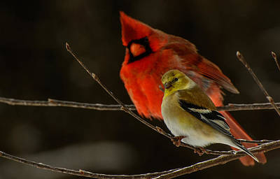 The Cardinal And The Goldfinch Art Print