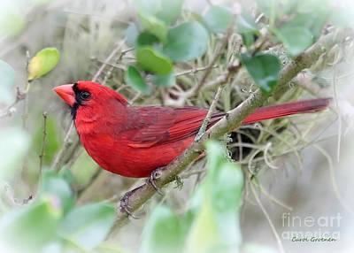 Cardinals. Wildlife. Nature Photograph - The Cardinal by Carol Groenen