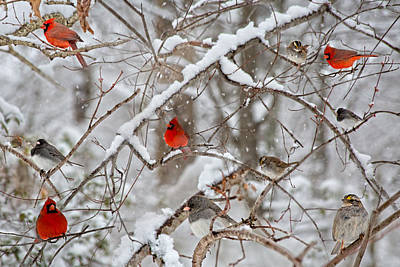 Birds In Snow Wall Art - Photograph - The Cardinal Rules by Betsy Knapp