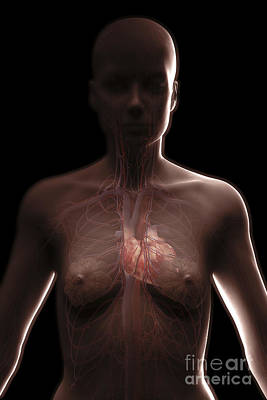 The Cardiovascular System Female Art Print by Science Picture Co