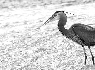 The Catch Blue Heron Fishing Original