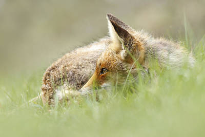 The Catcher In The Grass II   Red Fox Art Print by Roeselien Raimond
