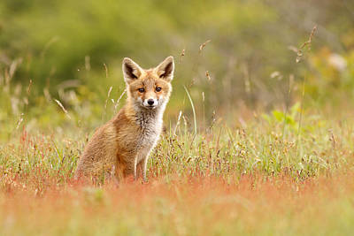 Fox Kit Photograph - The Catcher In The Sorrel by Roeselien Raimond