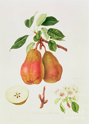 Fruits Painting - The Chaumontelle Pear by William Hooker