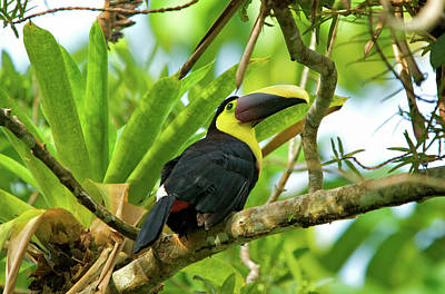Toucan Photograph - The Chestnut-mandibled Toucan, Or by Andres Morya Hinojosa