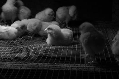 Photograph - The Chick by Richard Reeve