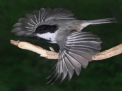 Photograph - The Chickadee's Seed by Theo