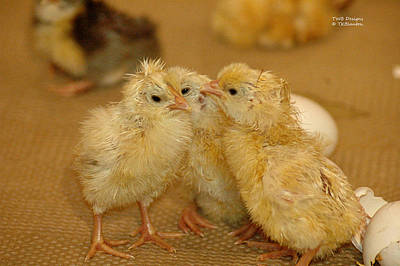 Photograph - The Chicklets by Teresa Blanton