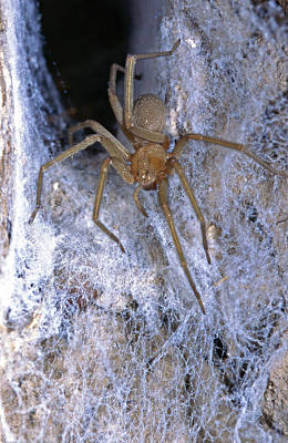 Chilean Photograph - The Chilean Recluse (loxosceles Laeta by Andres Morya Hinojosa
