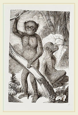Chimpanzee Drawing - The Chimpanzee by Litz Collection