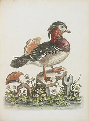 Categories Photograph - The Chinese Teal by British Library