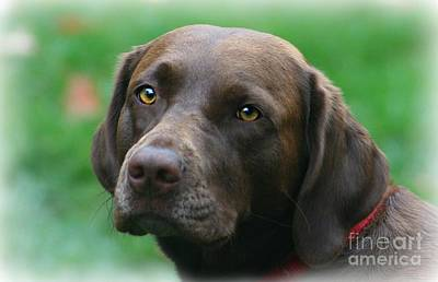 The Chocolate Lab Art Print by Barbara S Nickerson