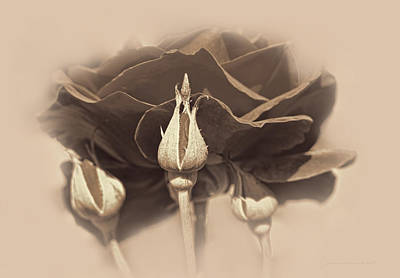 Photograph - The Chocolate Rose And Rosebuds by Jennie Marie Schell