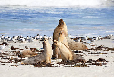 Sea Lions Photograph - The Choir by Mike Dawson