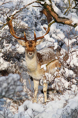 The Christmas Deer - Fallow Deer In The Snow Art Print by Roeselien Raimond