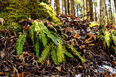 Photograph - The Christmas Fern by Paul Mashburn