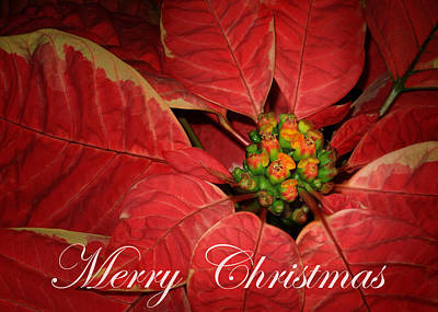 Photograph - The Christmas Flower by David and Carol Kelly
