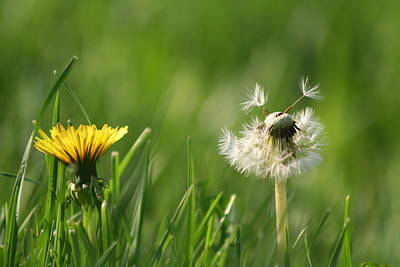 Thomas Kinkade Rights Managed Images -  A Weed or A Wish Dandelion Royalty-Free Image by Valerie Collins