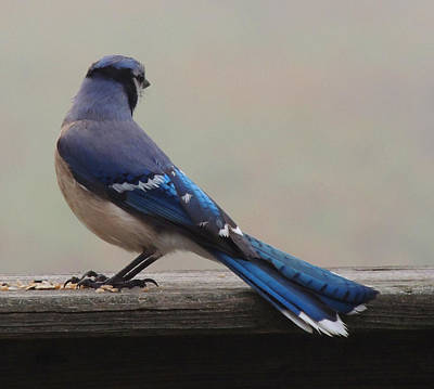 Bluejay Photograph - The Cold Shoulder by Mim White