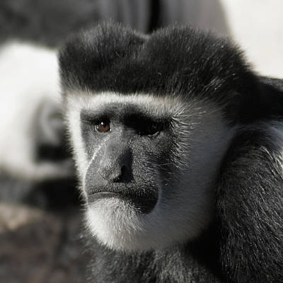 Photograph - The Colobus Monkey by Ernie Echols