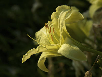 Photograph - The Color Of Sunshine - Yellow Lily by Jane Eleanor Nicholas