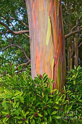 The Colorful And Magical Rainbow Eucalyptus Tree. Art Print