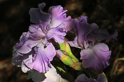 Photograph - The Colors Of Iris by Donna Kennedy