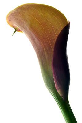 The Colours Of Calla. Art Print