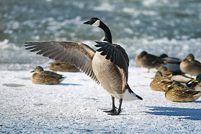 Geese Photograph - The Conductor by Rob Blair