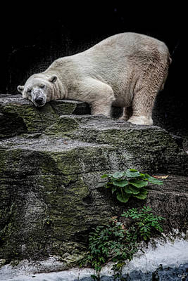 Photograph - The Contented Bear by Chris Lord