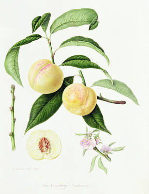 Flower Sections Painting - The Conudray Nectarine by William Hooker