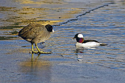 Photograph - The Coot And The Bufflehead by Sharon Talson