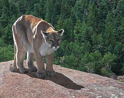 The Cougar 1 Art Print by Ernie Echols