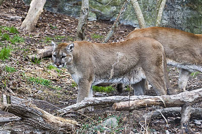 Photograph - The Cougar Look by Chris Flees