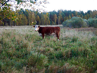 Photograph - The Cow by Kukka Lehto